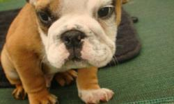 English Bulldog Puppy's We have 5 beautiful English bulldog puppy's for sale 2 females and 2 males They come with a one year health guarantee They have been vet checked,dewormed and have had there first shot Parents can bee seen on site We give a care