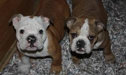 1 MALE LEFT PLEASE SEND YOUR NUMBER REDUCED TO 1699$ WOW  ! WE HAVE WONDERFUL ENGLISH BULLDOG PUPPIES FOR CHRISTMAS ,,PLEASE SEND YOUR CONTACT INFO IF INTERESTED , MALES ONLY AVAILABLE !!!!!IN THE PICTURE ONE ON THE RIGHT IS AVAILABLE !!!! PUPPIES ARE