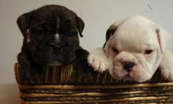 Gorgeous 3/4 English Bulldog puppies.     3 females lef. t Mother is 1/2 Boxer and 1/2 English Bulldog, Father is a beautiful rare AKC registered pure bread BLACK and white English Bulldog.  Puppies are ready to go just in time for Valentines Day they