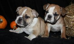 HALLOWEEN BULLDOGS FOR YOU !! FIRST 3 PICS ARE MALES LAST PIC IS FEMALE     Hi I have 4 english bulldogs 4 sale,,3 LEFT  ..They come microchiped an tattoed with vet records stating they have gotten 2 sets of needles ..Puppies are NON ckc registered ..they