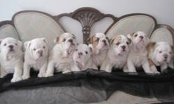 We have a litter of 8 English Bulldog puppies for sale.  We breed and show our puppies.  The father to this litter has his Canadian Championship as well as his Junior International Championship.  The mother's has some of the top European kennels in her