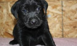Pups will be CKC registered I de-worm at 2,4,6 and 8 weeks of age for three days each time Puppies will have their first vaccine and be micro-chipped as well as a health record They will also have 6 weeks of complimentary puppy insurance. Both parents