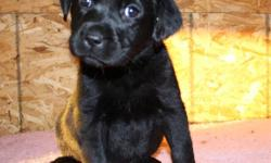 Pups will be CKC registered I de-worm at 2,4,6 and 8 weeks of age for three days each time Puppies will have their first vaccine and be micro-chipped as well as a health record 3 Year written health guarantee Puppies are very well socialized with kids and