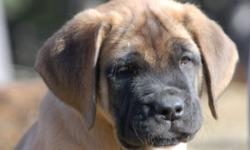 If you are looking for not just any dog but quality, healthy, and a beautifull dog who looks like the breed should, these are the pups for you. CKC champion sired. Parents health testing all excellent.If you are not prepared to get a quality Mastiff with