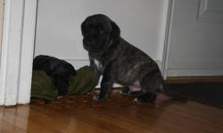 we have one male english mastiff pup available from our litter. he is going to be a big boy,  brindle in color... he will be ready to go dec 22. he will be vet checked, needled and dewormed. him and his litter mates as well as all of our adult mastiffs