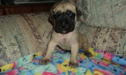 gorgeous english mastiff puppies have now arrived!. this will be my females second litter. i have pics and references from people who bought pups from the last litter. these pups will be ready to go right around christmas time. they will be vet checked,