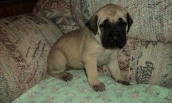 gorgeous english mastiff puppies have now arrived!. this is my females second litter. i have pics and references from people who bought pups from the last litter. these pups will be ready to go home for christmas. they will be vet checked, dewormed, first