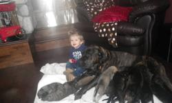 There are 12 puppies. 7 males and 5 females. They range in colour from Fawn, Various Brindle (fawn, black and apricot) and Apricot. Included in price is first shots and 3x deworming. Ready for a forever loving home by November 24th, 2011. Father and
