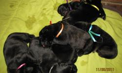 In this litter of English Mastiff puppies there are 9 females and 1 male. Both parents are AKC registered although puppies will not be registered you will receive a copy of parents papers. Dam is a wonderful gentle girl she is 140 lbs of love and sire is