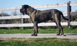 7 male and 5 female English Mastiff farm raised puppies. The mother (90 lbs, she's only 2 years old) and father (180 lbs, he's only three years old) are gentle giants and ON SITE. The puppies have been well socialized. Well, its almost time to let these