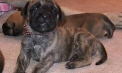"""Our English Mastiff's stand true to their saying, """"Gentle Giants"""". The father Chopper is the gentlest of Giants. He is a very loyal companion and always aims to please, looks to us for approval with everything he does. All around a beautiful  addition to"""