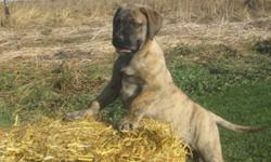 """English Mastiff Pups......The Ultimate Family Pet/Guardian!.......$600-$800.Brindle""""s...,,Apricot""""s,,Silver Fawn""""s,Males and Females Ready To Go Now!...,Second Shot""""s..,De- Wormed,Vet Certified,Health Guarantee ....,Dad Is A  220 Pound Fawn English"""