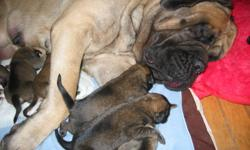 PUPPIES WILL BE SOLD TO APPROVED LOVING HOME, ONLY!   2 girls and 1 boy are available for reservation!!! Mother is 200+... lb and father 250+... lb. Both in a great health and having super sweet temperament! All our puppies are coming: - healthy and fat -
