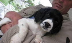 English Springer Spaniel puppies. 1 male black and white 1 female liver and white Field springers are vet checked, needled and dewormed. Ready to go now! Parents on site. I will send pics!