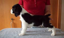 Springer Spaniel Male Black and White Puppies  ready to go to new loving homes. These are puppies raised in our home, so they are well socialized with adults, grandchildren and other dogs. These pups were dewormed at 5 & 7 weeks, are vet checked, have had