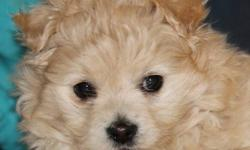 I only have one little female Eskipoo left. She will be vet checked, have her first shots and be dewormed. She is very friendly and playful,  good with other pets and loves kids. $300.00 Please call 577 - 1705 if you are interested or have any questions.