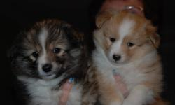 We have 2 puppies left (American Eskimo x shetland sheepdog)  for sale. They are home raised with kids. Both mother and father are on site and are purebreds of there kinds. All puppies come with their first shots and deworming. About the Breed The Eskland