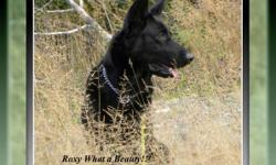 Repeat breeding for Wild Winds Roxy Roller & Chambo's Black Ozz. Expecting large solid healthy puppies who will be ready to go in April, please contact me for reservations.
