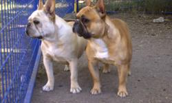 Expecting a litter of french bulldog puppies!! Will be taking non-refundable deposites once they have arrived!!! You can hold your pick puppy with a $500 non-refundable deposite. These puppies with be ready to go mid to the end of January! Mom is a