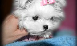 We have a video of her on our website www.fcspreciousyorkies.com TINY SNOW FLAKE IS A VERY EXTREME ....BABY DOLL FACED MALTESE...SHE HAS THE MOST GORGEOUS LITTLE FACE EVER ! VERY SHORT NOSE, BIG EYES, SHE MEASURES 3.5 INCHES LONG BY 3.5INCHES TALL! SHE IS