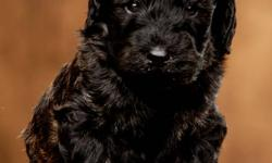 F1B Golden Doodles. Mother is our family pet. Pups being raised in family environment. Hypoallergenic, no shed, great temperament. Variety of coat colours and markings.