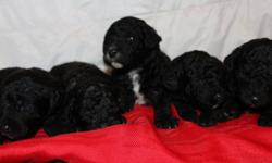 Gorgeous- hypo-allergenic-perfect family pet Their father is Domino a miniature poodle stud that weighs 10lbs--He is a stud from PawPaw poodles--you can meet him on their website. Their mother is our own F1b Standard Labradoodle Dusty--she is a beautiful