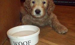 Unique CAFE coloured male labradoodle puppy. Fleece coat which is allergy friendly and non-shedding. Full vet. health check, vaccinated and dewormed. New puppy pkg., 2 yr. health guarantee and breeder support. Lovingly raised in our family home, and well
