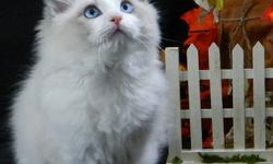 I Have 4 Ragdoll kittens and thier Mom Looking for forever homes. Jazzy Jewels is one year old. She is very playful and loves peaple, she also likes to fetch.. She can only go to a home were there is no other cats.  I am asking $450.00 to retire my