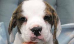 Beautiful bridle boglen puppies!! There is only one male and female ready to go. Each has deworming, vaccination, health warranty, health records and puppy starter kit. Their mom is a Beagle and dad is a Boston Terrier! The beefy boy will mature around
