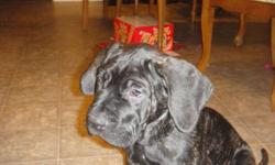 I have neopolitian mastiff x named fang  we paid 800.00 for him and asking 600.00 call mitch if interested will negoatiate price  MUST SELL ASAP B4 FRIDAY MUST GO!!!!!!
