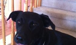 Great border collie lab cross, needs lots of room to run such as a farm NOT suited to live in the city. Fast learner, wants to please! Knows sit heal come go lay down... Ext plz contact for more info and for viewing This ad was posted with the Kijiji