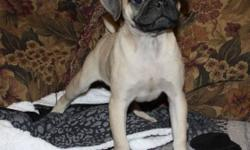 I have just two pups left of this litter of 7, they are ready for their new homes have started going outside for house training, vaccinated and dewormed these little cuties are well socialized with other dogs and kids, they love to play, and snuggle ...