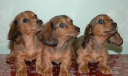Three females available, 1 shaded red, 2 red dapple. $500 each Quality miniature dachshunds Family raised with care and love Our puppies will be up to date On all vaccinations and worming. New owner get a puppy with a health record, Puppy crate, and a