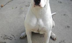 Beautiful almost 1 year old female American Bulldog named Spot. She is up to date with her shots and went through training class through K9 services in Essex. She is not fixed since we were planning on breeding her once. We are unfortunatly not going to