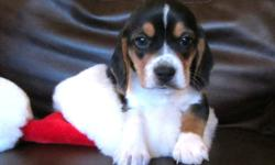 1 Female Beagle Puppy, with first needles & dewormed, ready for new home on 6th of January. Beagles are great family pets, very even temperment & great with children. Mother has papers, father does not. Mother is 3 yrs, Father is 1.5 yrs, This is the