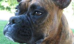 unspayed 1year and 11 month old, red brindle female boxer. She has had one previous litter. House broken, leash and crate trained good with kids and other animals, quiet, very obedient. Comes with crate and a few accessories. Travels well. Small boxer