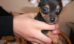 Black and brown, very playful and friendly, eats puppy food, and very healthy.