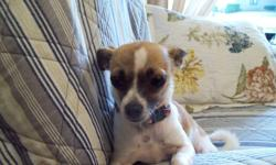 I have a sweet little girl looking for her forever home.  She is a tri coloured chihuahua who I believe has just a touch of pug (curly tail).  She very small at 5lbs.  I rescued her when she became pregnant accidentally at only a year old.  We found