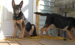 I have 2 pure bread German Shepherd puppies for sale. They are both female have 1st set of shots and dewormed.