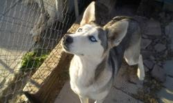 I have a female siberian Husky for sale. She is UTD on shots but not fixed. The only reason I'm selling is that she doesn't want to be a sled dog. She is a very good dog for around the house. She is not house trained but should be easy to train. Call