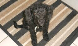 We recently bought a puppy at 3 months old as she was the last of the litter to find a home. She is absolutely adorable. Black in colour, big brown eyes, she is about 6 lbs and will get to be about 10-15 lbs full grown. She is very friendly. I don't think