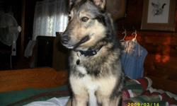 Milly is a Female Norwegine Elkhound Cross Shepard. She is approx.2.5 years old. I have had her for about a year now. It is hard and devistating to let such a great dog go but under some curcomstances and rules i have to. I hoping to find her a loving and