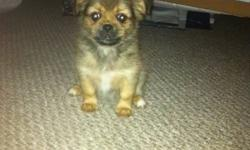Are you looking for a cute and soft puppy to call your own?  10 week old Shitzu Yorkie Pom Puppy is now ready to find her new home!!!! She is non-shedding, paper trained, has her first shots and now all she needs is someone to give her a name and a home