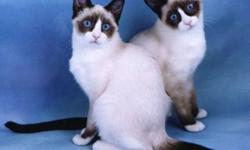 I am interested in adopting a female color point cat, 6-12 months (however I may consider any age) Seal Point, Blue Point, Lilac Point, Chocolate Point, Flame  Point, Lynx Point, or Torti Point with or without white markings as well.  Long hair