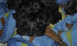 Trying to find a home for a 12 week female puppy, Yorkie and Poodle,Boston Terrier mix.  Mother is hypoalergenic, i belive the puppy is also.Worth more than asking, as she needs her first shots.  very cuddly and sweet,   thanks