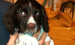We have three purebred English Springer Spaniel Pups for sale! They will be ready next week after they're 8 weeks old. All have docked tails and will have had their first shots. We have two females and one male in the litter, all liver and white in