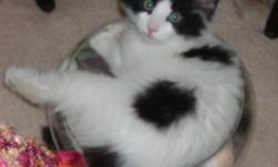 Finn is a black and white male kitten, now about 3 months old. This spectacularly gorgeous kitten was rescued from under a shed next to an automotive shop, one that was located adjacent to an apartment building in North Dartmouth with several other