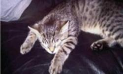 Hi there i have a males Bengal he is 16 months old looking for a good home for him he is good with other animals cats and dogs and really good with other kidsI dont know about babies he has been around them but not that often he just looks then runs but