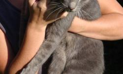 We have found a grey male cat that has been declawed and possibly neutered. There were no tags on the cat; however, he is very friendly and we are assuming that he is a house cat. The cat is hanging around our farm, which is located outside of Neustadt