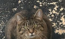 Found- plump grey and black tabby cat. Very affectionate and dog friendly. Please contact if it's yours This ad was posted with the Kijiji Classifieds app.